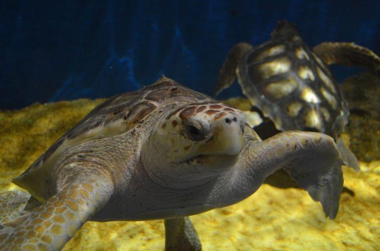 El acuario recibe dos ejemplares de tortugas 39 caretta for Acuario tortugas