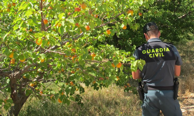 """Finca jumillana con cultivos clandestinos de albaricoque de la variedad """"Albasol"""""""