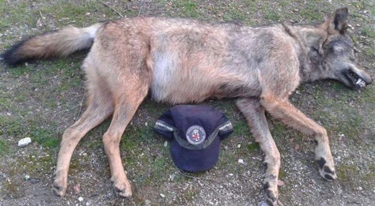Cadáver del lobo encontrado en Manzanares el Real