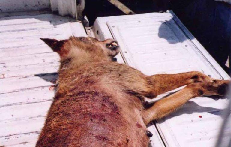 Loba abatida en Junio de 2003 en Euskadi. La autopsia reveló que era una hembra adulta parida que tuvo al menos 6 cachorros.