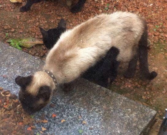 """""""Siamesa"""" una gata perdida que busca a sus dueños"""