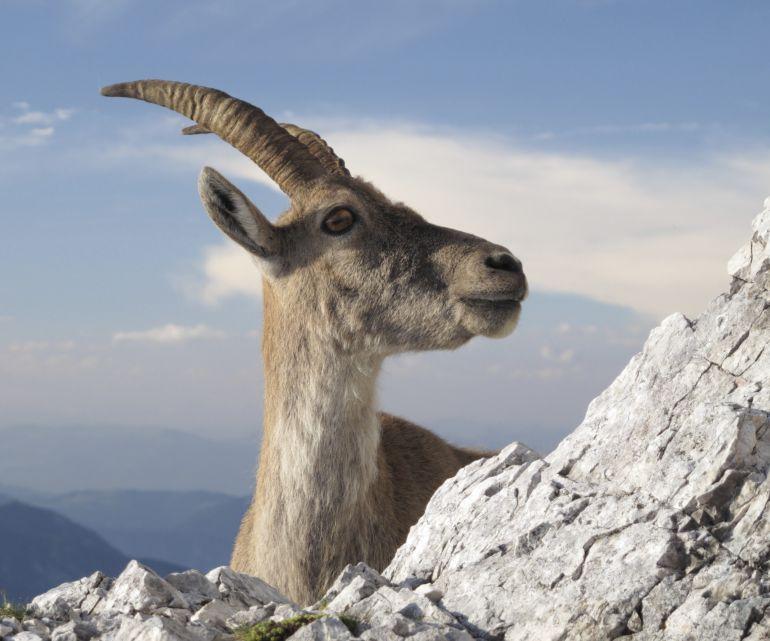La justicia mantiene la paralización de la matanza de cabras en la sierra