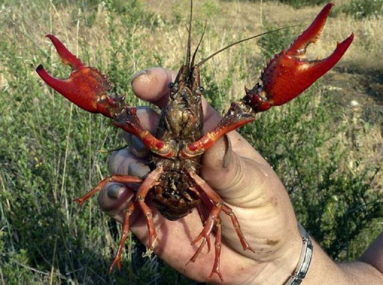 El Congreso acuerda cambiar la ley para permitir la pesca del cangrejo rojo