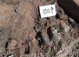 Restos paleontológicos encontrados en la excavación del yacimiento 'Baza-1' en la campaña de 2015