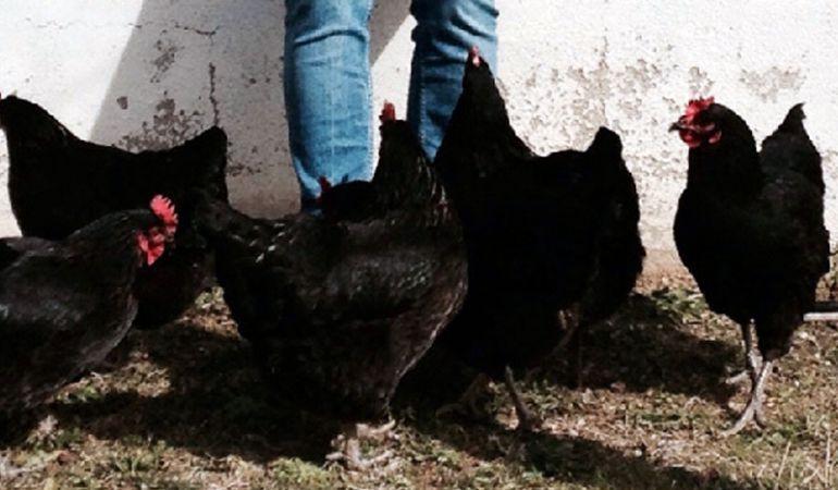 Las gallinas de corral, alimentadas de forma natural, son las únicas que producen huevos ecológicos