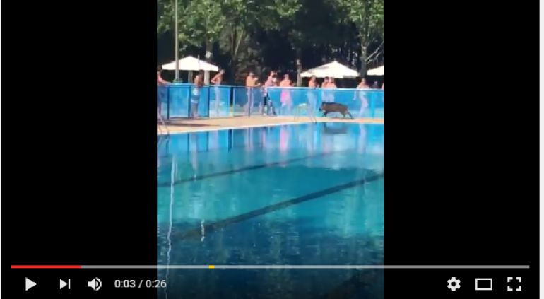 Redes sociales un jabal se mete en la piscina de for Piscinas tomelloso