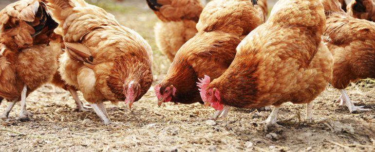 Se mueren literalmente del calor las gallinas de una granja en Santa Cruz de Retamar, en Toledo