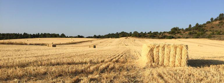 Campo de cebada ya segado con alpacas de paja.