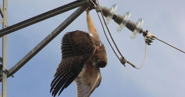 Iberdrola sancionada con 700.000 euros por electrocución de aves protegidas