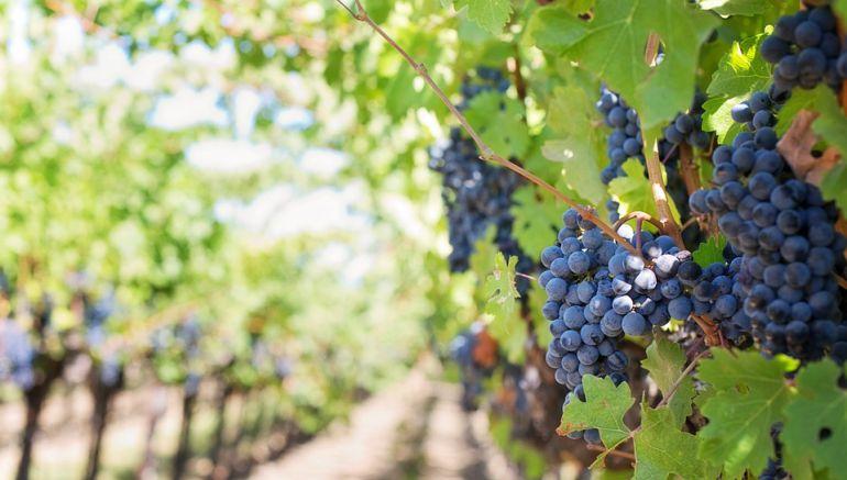 83 millones de kilos de uva excelente