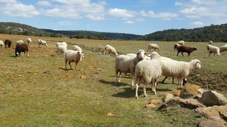 Los productores esperan poder comercializar el cordero serrano en Navidad