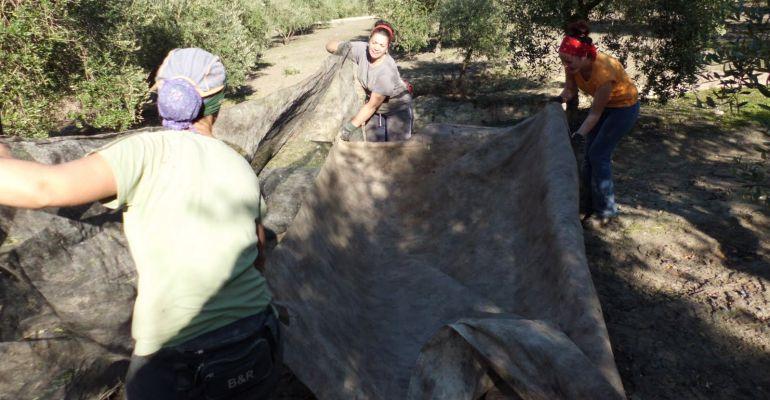 Varias mujeres trabajan en un tajo de la aceituna.
