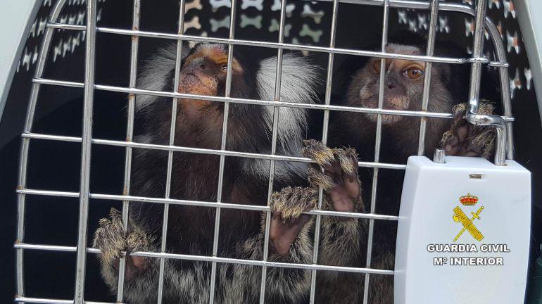 Monos Titís incautados en Alicante