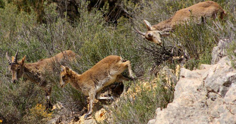 Cabras monteses en las hoces del Cabriel.