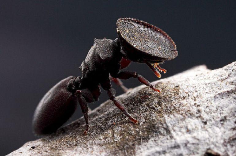 Hormiga que usa la cabeza como puerta