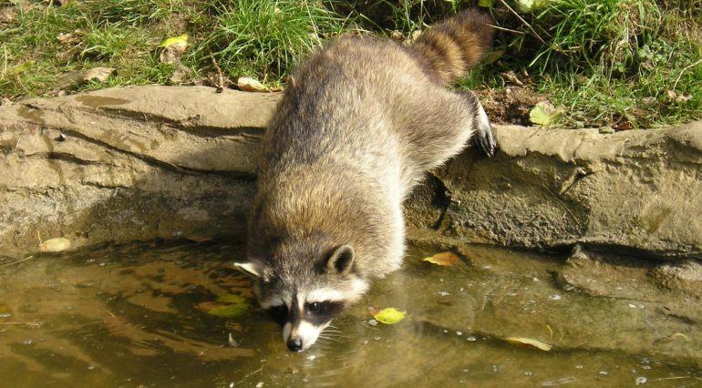 Un mapache bebe agua del río