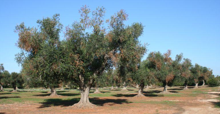 Olivos afectados por xylella fastidiosa.