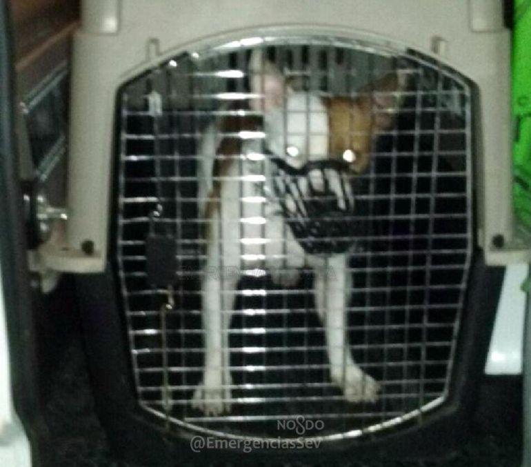 Un perro muerde en la cara a un niño en Sevilla: Herido grave un menor por la mordedura de un pitbull