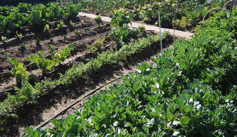 Distintas verduras crecen en un huerto