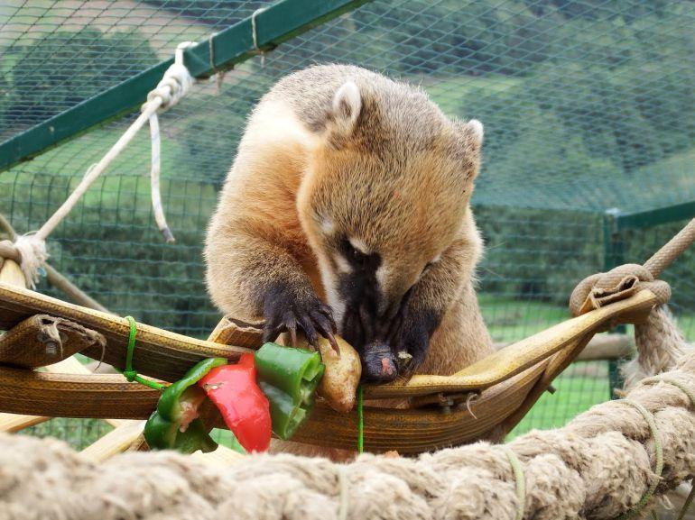 Coatí utilizando enriquecimiento ambiental en el zoológico El Bosque