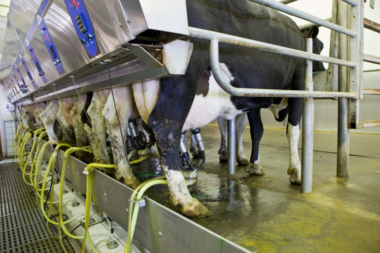 Vacas en un ordeño