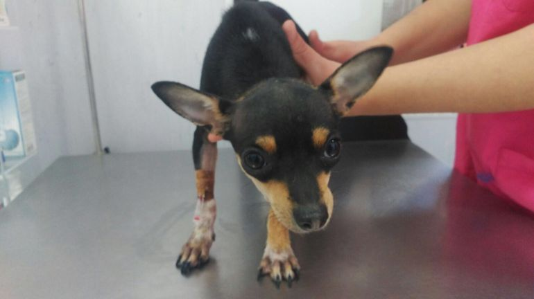 El cachorro rescatado, en la clínica veterinaria donde fue atendido.