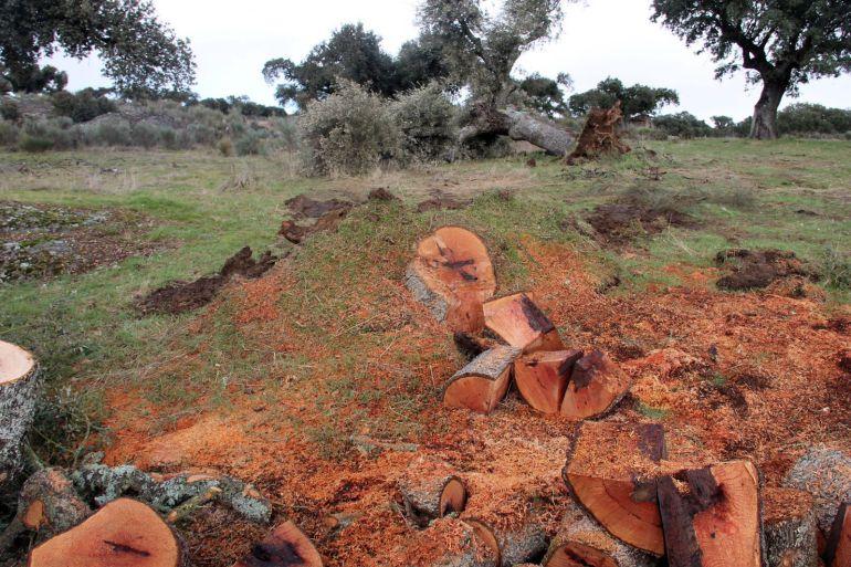 Encinas taladas en la zona donde Berkeley está realizando los trabajos para la construcción de la instalaciones mineras