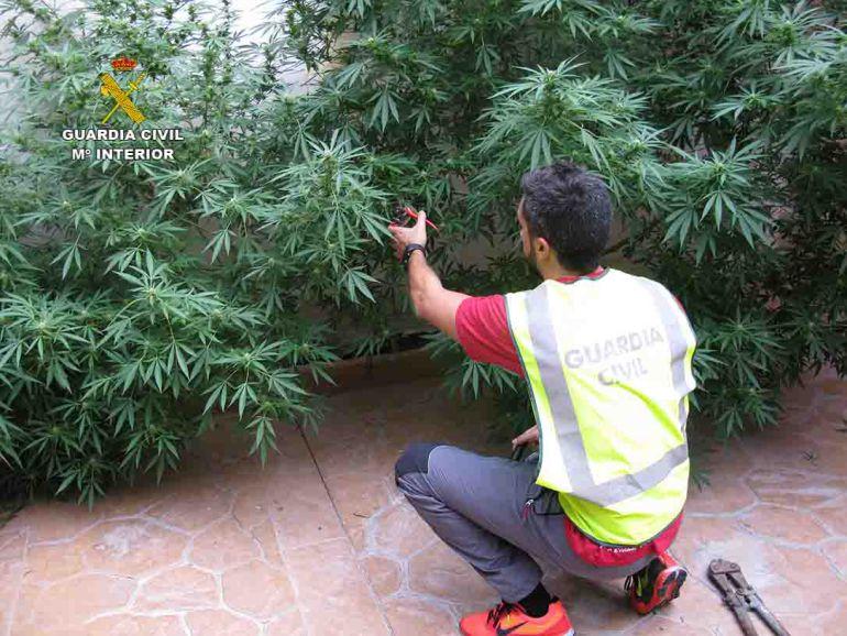 Plantación ilegal de marihuana en Inca.
