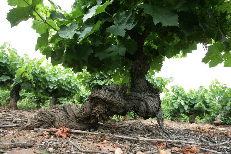 Descubren la huella genética que hace único al vino del Bierzo