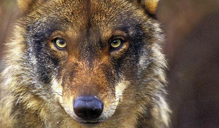 UPA denuncia el aumento de los ataques de lobos al ganado