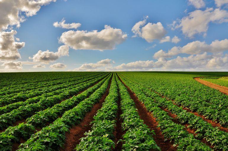 Cultivo de patatas.
