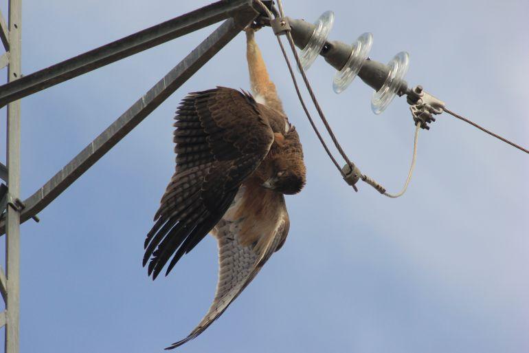 Aguila perdicera electrocutada en un tendido electrico