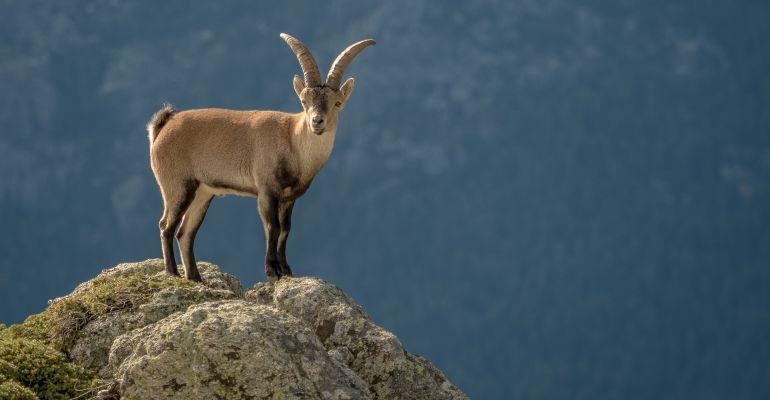 Cabra montesa en La Pedriza