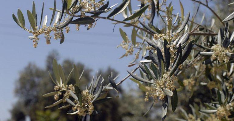 Polen del olivo.
