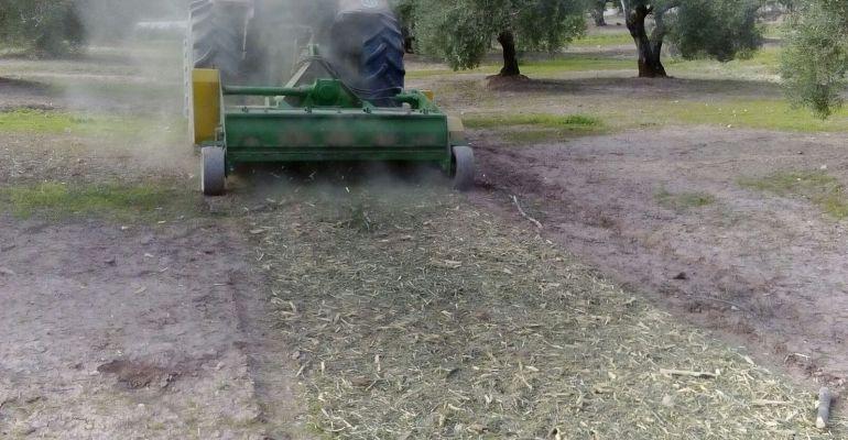 Un tractor pica los restos de poda del olivar.
