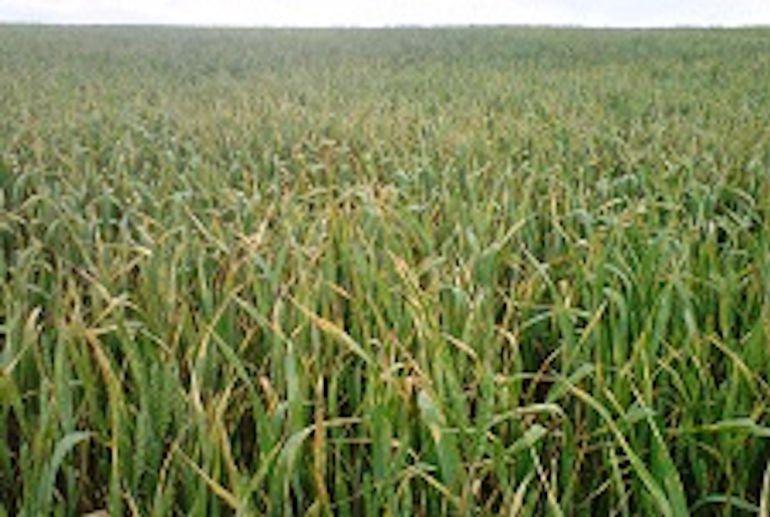 Los cultivos de cereal son de los más afectados por la ausencia de lluvias.
