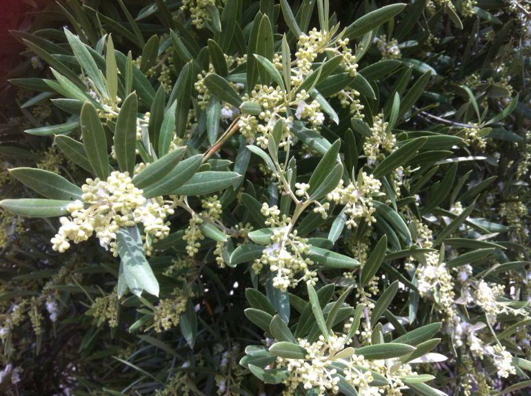 Olivar en plena floración de la trama para la nueva cosecha