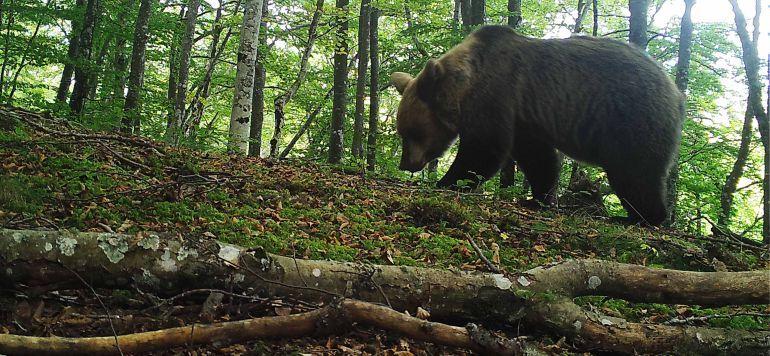 Hallados dos osos muertos en la reserva de Muniellos