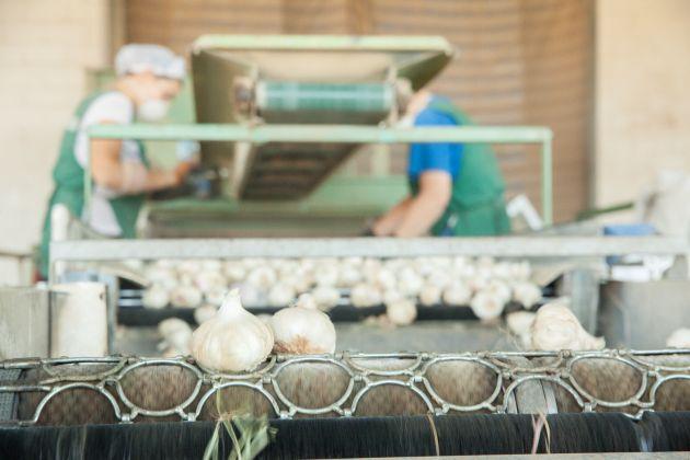 Proceso de selección de ajos en la empresa PROACO
