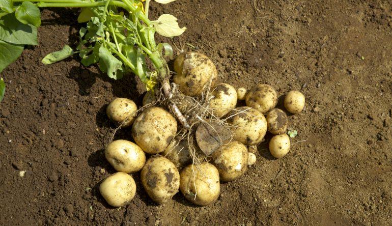 Patatas arrancadas en una finca