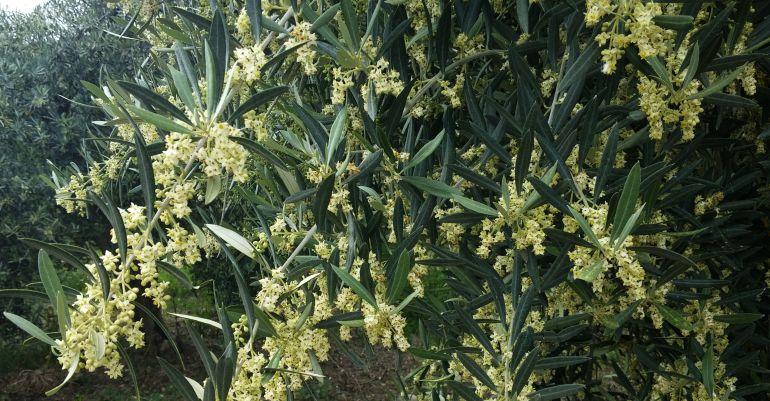 Olivos jiennenses cargados de polen en plena primavera