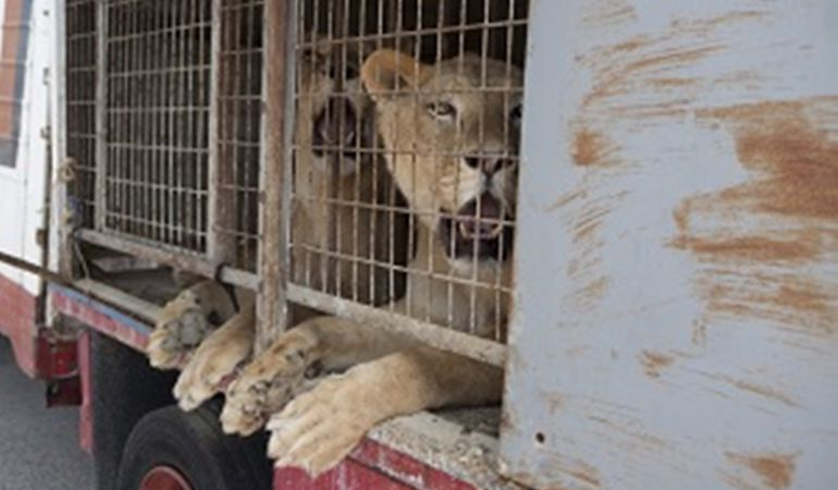 Los leones en el carromato del circo