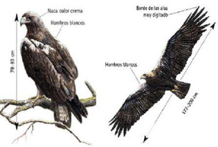 El águila imperial ibérica, el ave más representativa de la zona