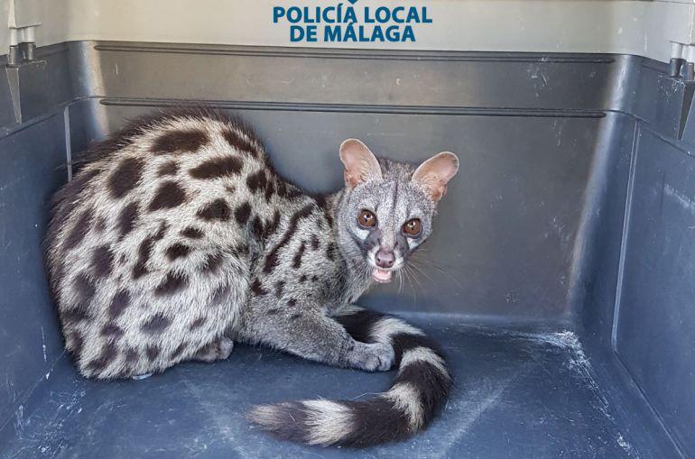 La policía municipal se hizo cargo del animal para su cuidado