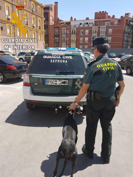 Los agentes han intervenido 81 galgos que pudieron ser robados a sus legítimos dueños