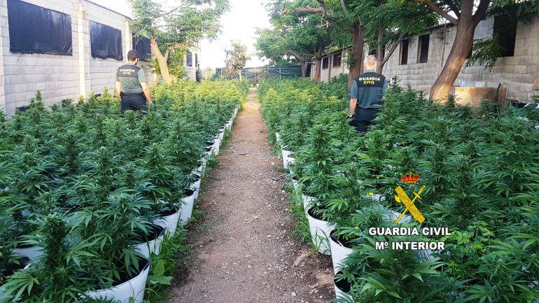 La Guardia Civil ha encontrado 1.282 plantas de marihuana en una granja de Càlig