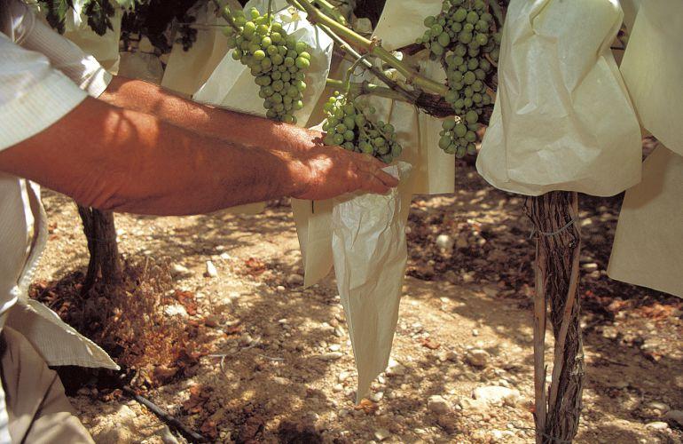 Colocación uva