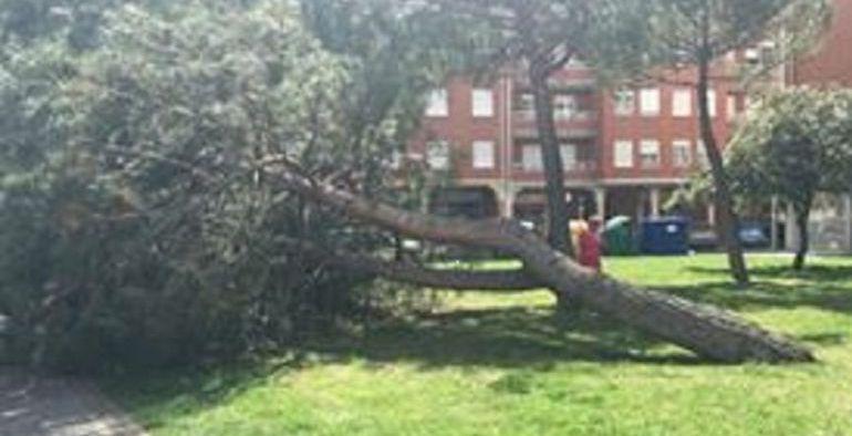 Árbol caído en su día en la calle Doctor Fleming de la capital palentina
