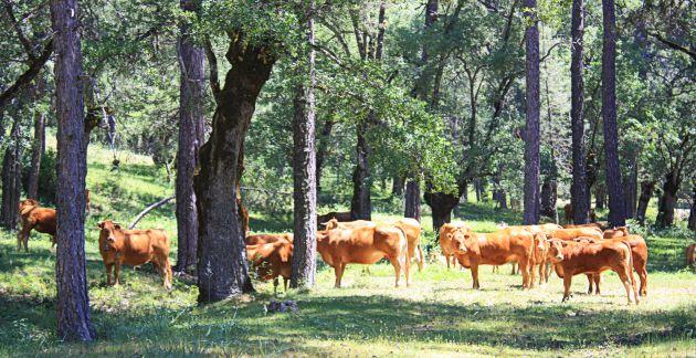 Vacas pastando en la Dehesa de Carrascosa.