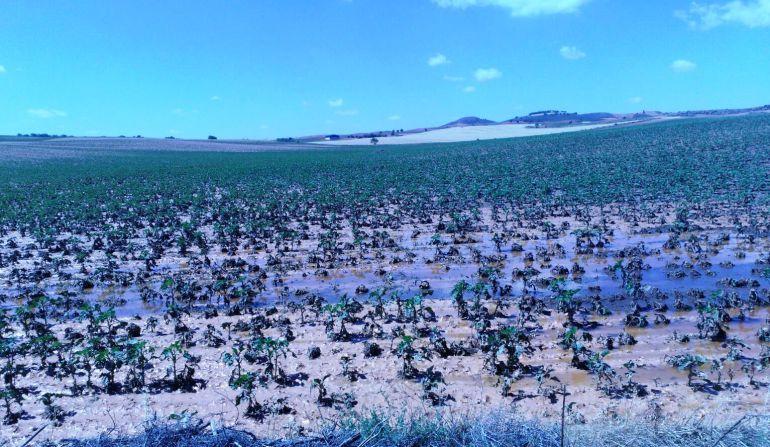 Cultivos dañados en Loranca del Campo
